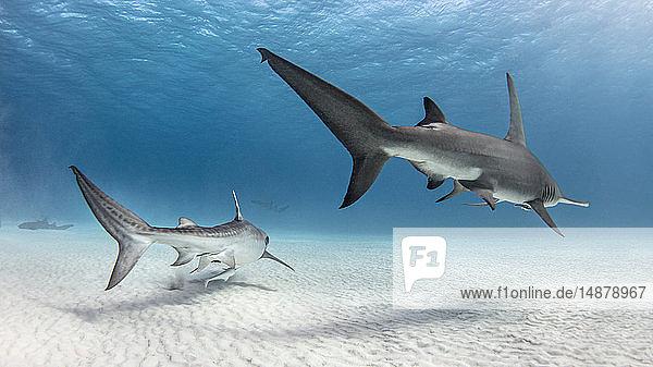 Unterwasseransicht des grossen Hammerhais und des Tigerhais  die über den Meeresboden schwimmen  Alice Town  Bimini  Bahamas