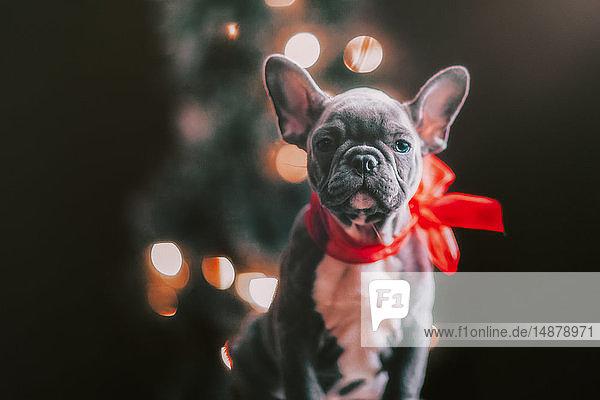 Junge französische Bulldogge trägt rote Schleife zu Weihnachten