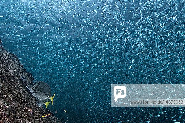 Sardinenschwärme werden von Rotschnappern gejagt