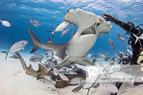 Taucher füttert großen Hammerhai und Fische unter Wasser  Alice Town  Bimini  Bahamas