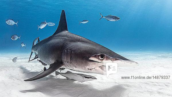 Great hammerhead shark in shoal of fish  Alice Town  Bimini  Bahamas
