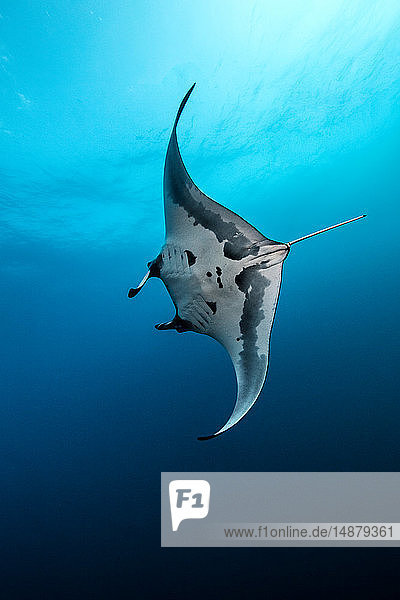 Underwater view of Giant Manta Ray swimming near the pinnacle of roca partida  Socorro  Baja California  Mexico