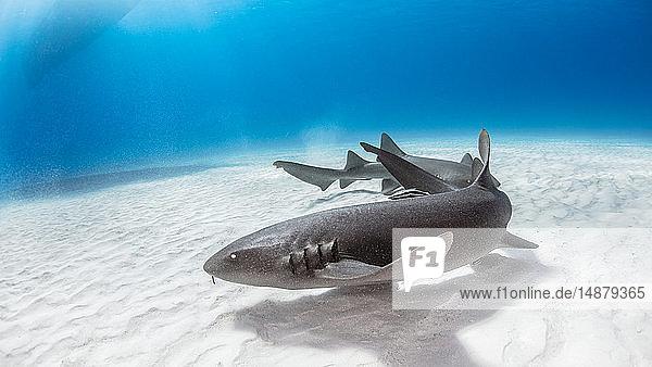 Nurse shark  Alice Town  Bimini  Bahamas