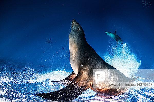Seelöwen jagen und ernähren sich von Makrelenköderballen