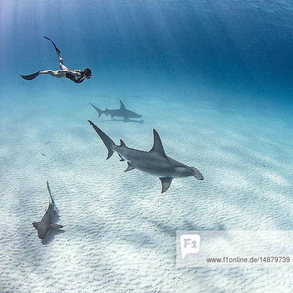 Underwater view of great hammerhead sharks and female scuba diver swimming over seabed  Alice Town  Bimini  Bahamas