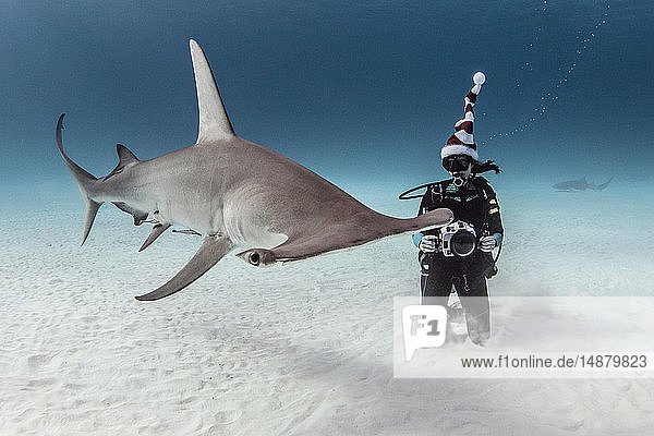 Underwater view of great hammerhead shark and female scuba diver with camera on seabed  Alice Town  Bimini  Bahamas