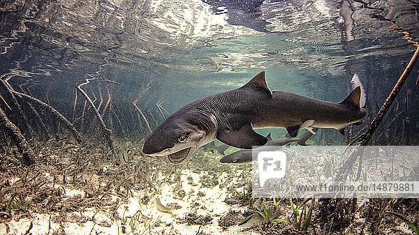 Underwater view of baby lemon shark swimming amongst mangroves  Alice Town  Bimini  Bahamas