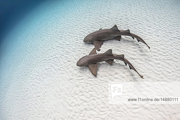 Underwater view of pair of nurse sharks on sandy seabed  high angle view  Alice Town  Bimini  Bahamas