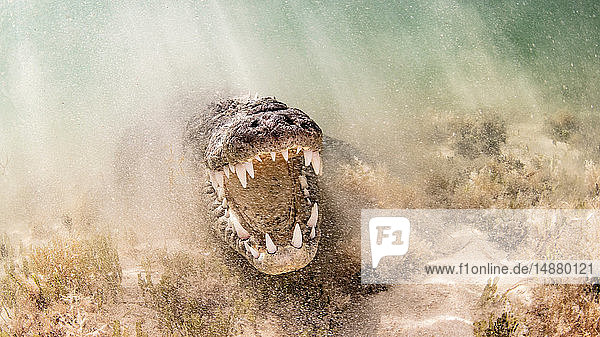 American Saltwater Crocodile above sandy seabed on the atoll of Chinchorro Banks  low angle view  Xcalak  Quintana Roo  Mexico