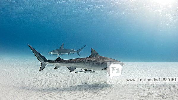 Unterwasseransicht des großen Hammerhais und des Tigerhais  die in der Nähe des Meeresbodens schwimmen  Alice Town  Bimini  Bahamas