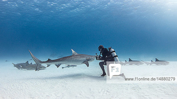 Underwater view of male scuba diver with tiger shark and nurse sharks over seabed  Alice Town  Bimini  Bahamas