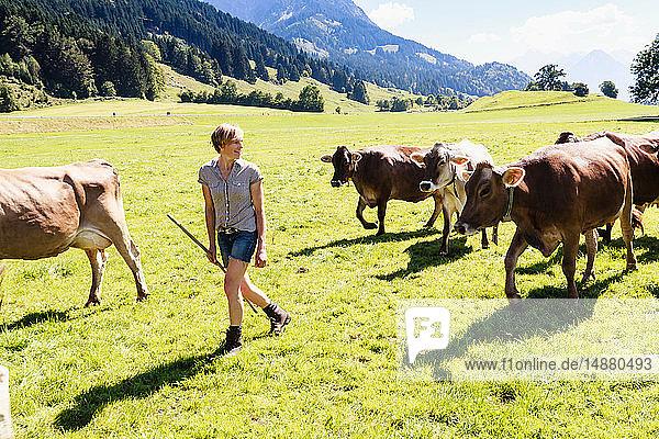 Frau führt Kuhherde auf dem Feld  Sonthofen  Bayern  Deutschland