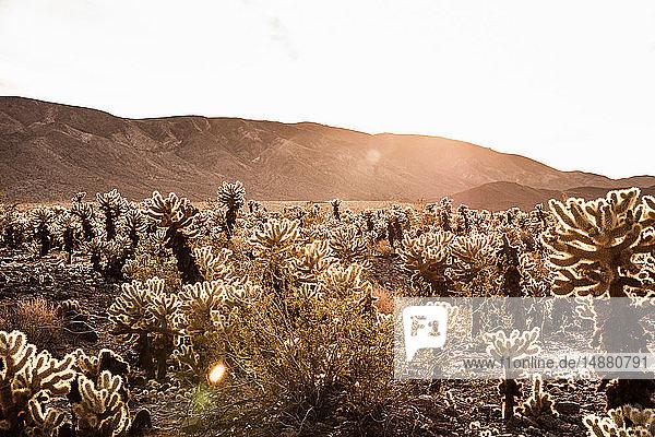Hinterleuchtete Kakteen und ferne Berge  Joshua Tree  Kalifornien  USA