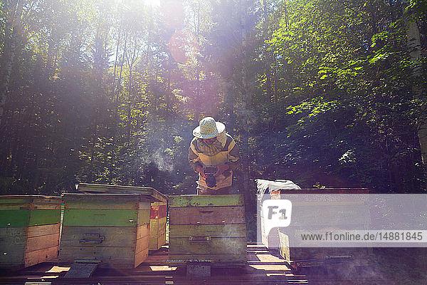 Beekeeper working in beehive farm  Ural  Bashkortostan  Russia