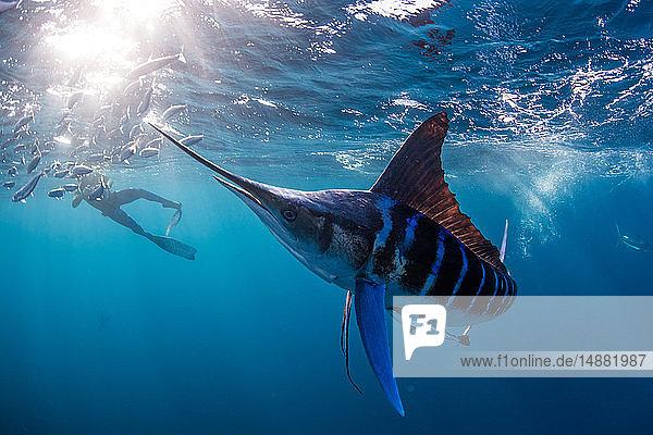 Gestreifter Marlin auf der Jagd nach Makrelen und Sardinen  vom Taucher fotografiert