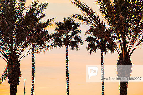 Palm trees at sunset  Sitges  Catalonia  Spain