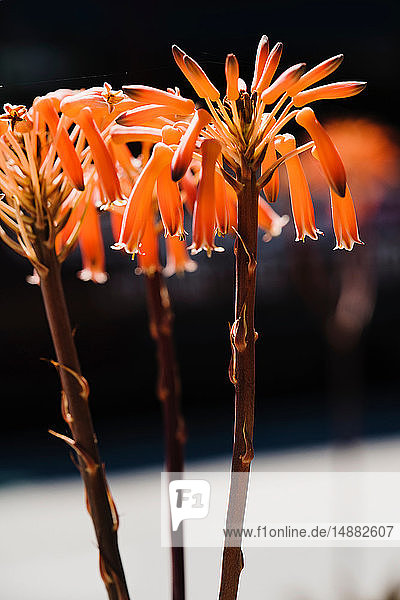 Orange coloured flowers
