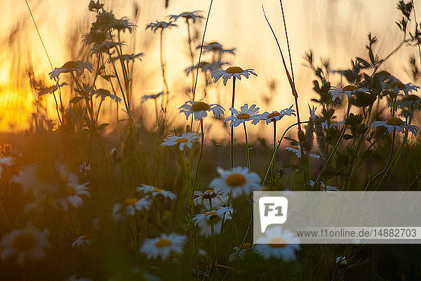 Field with wild daisies at sunset  close up