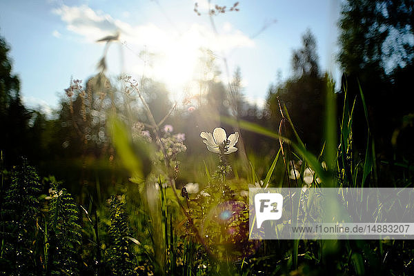 Field with backlit white wildflowers  close up