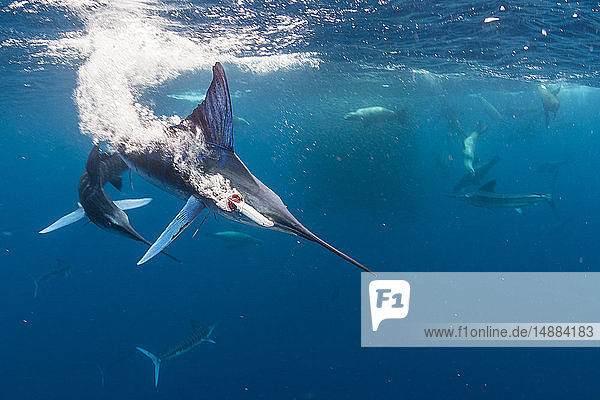 Striped marlin hunting mackerel and sardines  joined by sea lions