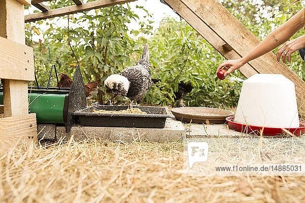 Hühner im Hühnerstall im Garten mit einem Apfel von Hand füttern