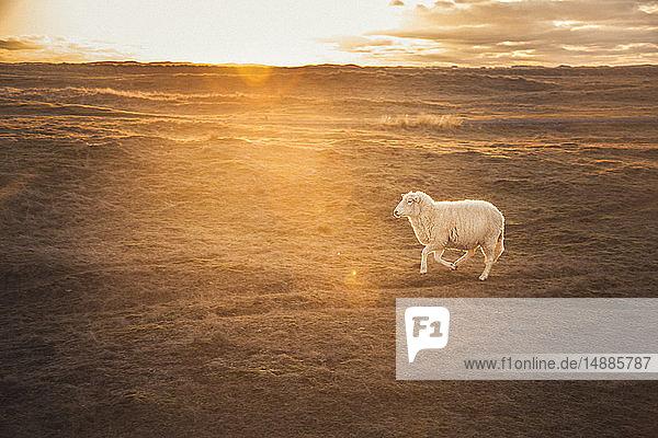 Deutschland  Sylt  Nationalpark Schleswig-Holsteinisches Wattenmeer  Dünenlandschaft  Ellenbogen  laufende Schafe  Sonnenuntergang