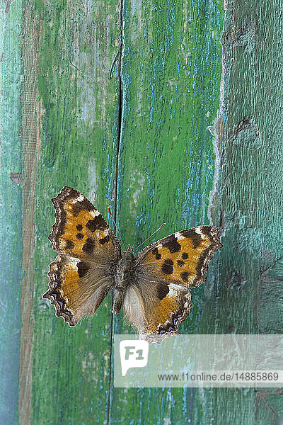 Schmetterling auf abblätterndem grünen Holz