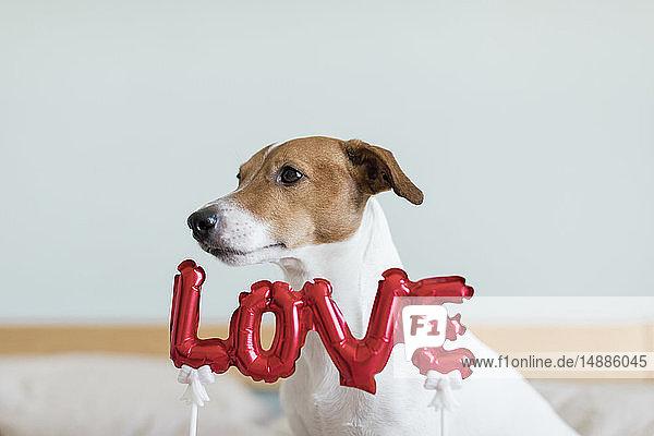 Hund im Bett mit Liebesfolienballon