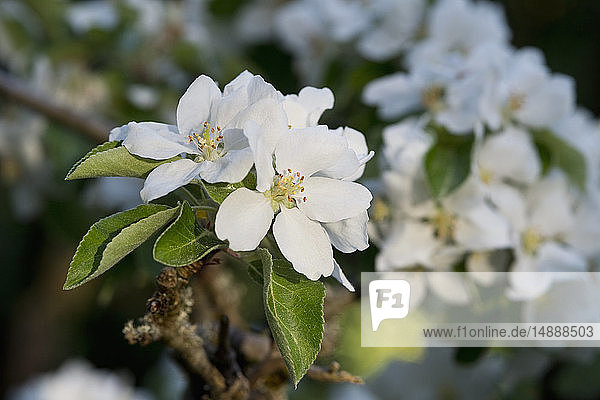 Apfelblüten  Nahaufnahme