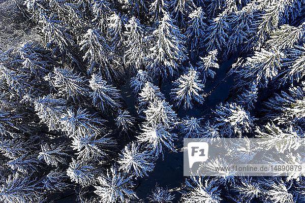 Luftaufnahme von Fichten im Winter