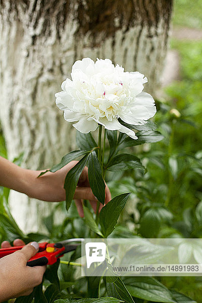 Hands of woman cutting white flower