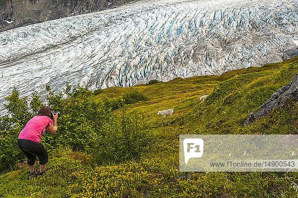Woman photographs mountain goats (Oreamnos americanus) next to the Exit Glacier at Harding Icefield Trail  Kenai Fjords National Park  near Seward  South-central Alaska; Alaska  United States of America