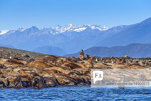 Steller sea lions (Eumetopias Jubatus) bask in the sun on a small island in Lynn Canal  Inside Passage  near Juneau  Southeast Alaska; Alaska  United States of America