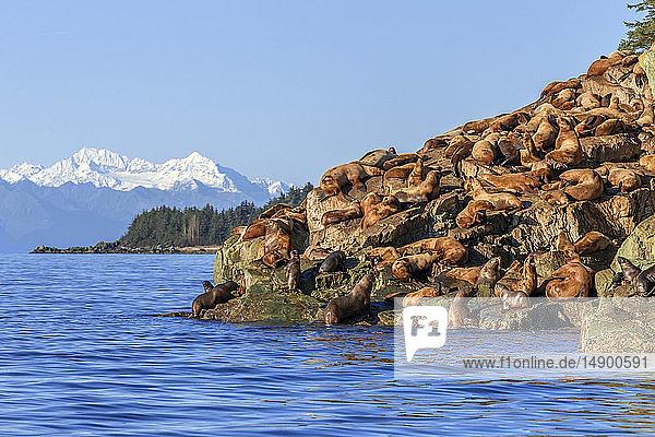 Steller sea lion (Eumetopias jubatus) hauled out on rocky shore in Lynn Canal  Inside Passage  Southeast Alaska; Alaska  United States of America