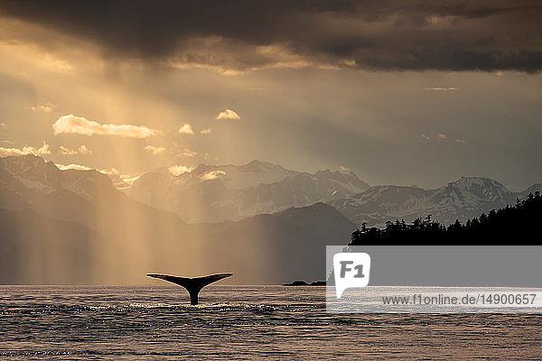 Humpback whale (Megaptera novaeangliae) lifts its flukes as it feeds in Lynn Canal at sunset  Southeast Alaska; Alaska  United States of America