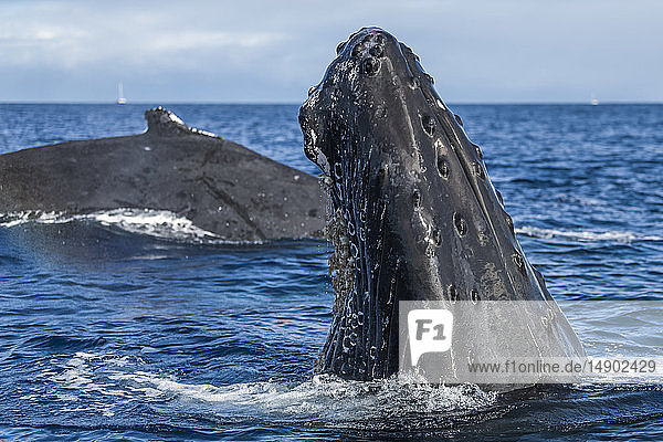 Humpback whale (Megaptera novaeangliae) spyhopping; Lahaina  Maui  Hawaii  United States of America