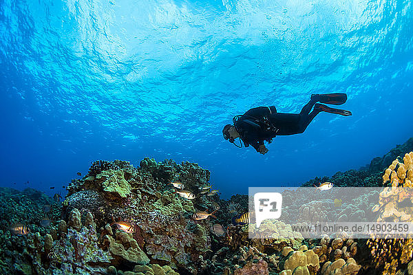 Diver swims over coral reef; Island of Hawaii  Hawaii  United States of America
