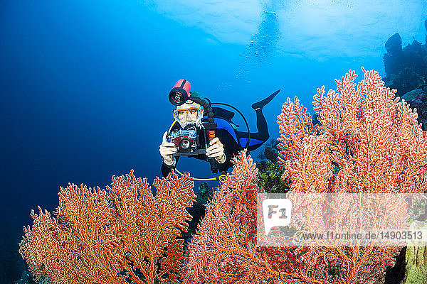 A photographer scans a fan of gorgonian coral in search of a subject; Indonesia