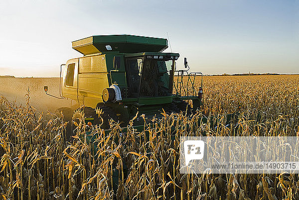 A combine harvester works in a field of mature feed/grain corn during the harvest  near Niverville; Manitoba  Canada