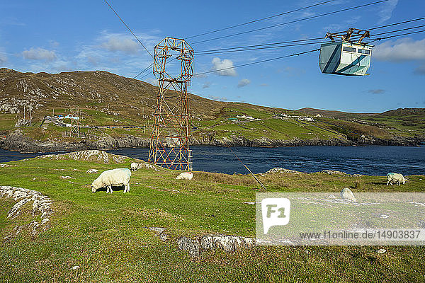 A flock of sheep (Ovis aries) grazing in a grass field along the coast with a gondola lift hanging from cables overhead; Ireland