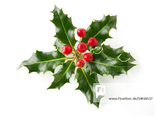Fresh Holly leaves with red berries against a white background - Ilex aquifolium.