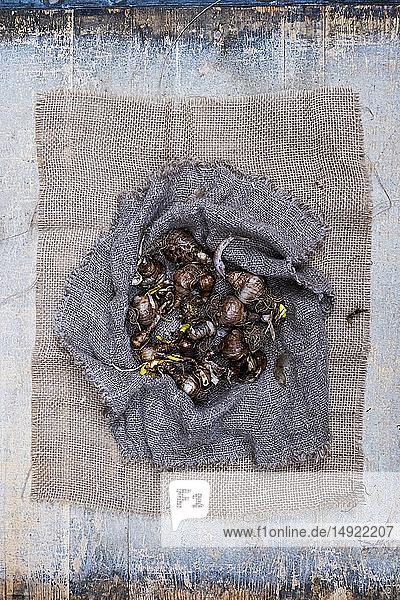 Hochwinkel-Nahaufnahme von braunen Zwiebelzwiebeln auf grauem Hintergrund.