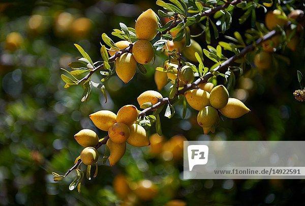 Argan Fruit growing on an Argan nuts in an Argon tree. Near Essouira  Morocco.