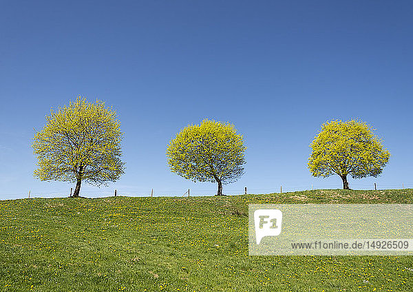 Frühlingslandschaft mit drei Bäumen