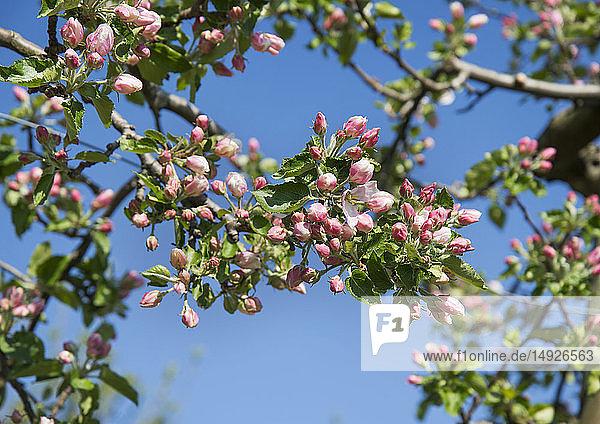 Geschlossene Apfelblüten
