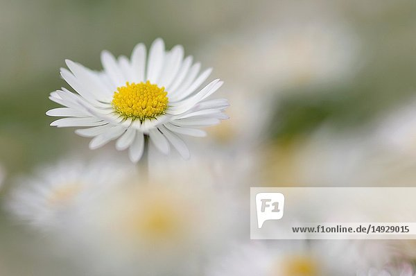 Daisy (Bellis perennis. Bavaria  Germany.