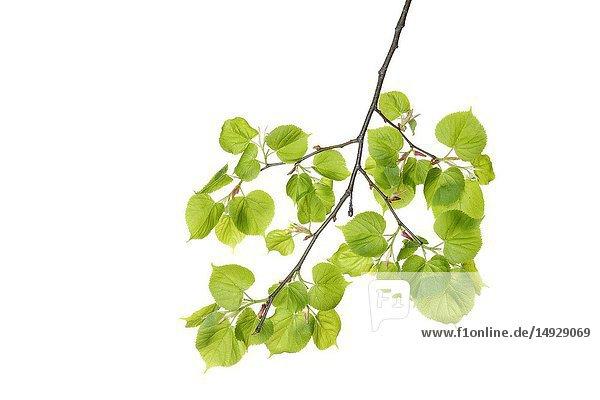 Lime tree (Tilia spec. ) leaves against white background. Bavaria  Germany  Studio Shot.