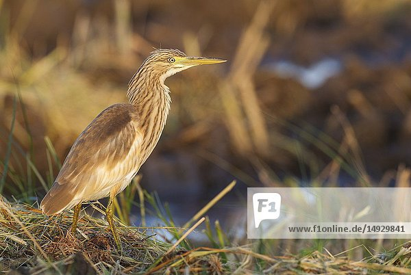 Squacco Heron (Ardeola ralloides). Hunting at the edge of a harvested rice field. In the first morning light. Environs of the Ebro Delta Nature Reserve  Tarragona province  Catalonia  Spain.