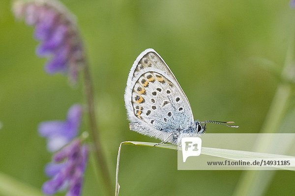 Idas Blue  Plebejus idas. Small blue butterfly that is found in nutrient poor habitats and sandy grasslands. Easily cofused with Reverdin's Blue and Silver-studded Blue and shares same flight season and habitat. Flight: June-August. Host plants include: Fabaceae  Ericaceae Cytisus  Genista  Melilotus  Lotus  Calluna  Anthyllis. Myrmephilous butterfly attended by Lasius  Formica ants.