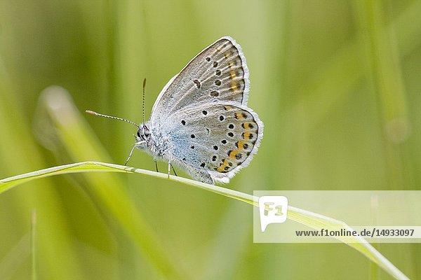 Idas Blue  Plebejus idas on a blade of grass.